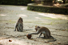 Monkey with ball. Monkey with playing with coconut in forest Royalty Free Stock Photos