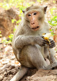 Monkey with banana. Macaque (rhesus monkey) close-up with banana stock photography