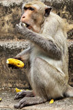 Monkey with banana. Monkey (Macaque rhesus) close-up to eat banana stock photos