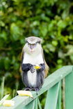 Monkey with banana. In Grand Etang National Park, Grenada stock photography