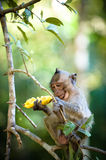 Monkey with Banana. Monkey on a tree branch eating a banana royalty free stock photography