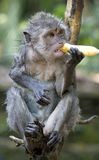 Monkey With Banana. A soaked monkey biting on a banana. Monkey Forest, Ubud, Bali, Indonesia stock photos