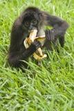 Monkey and a banana Stock Image