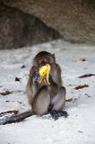 Monkey with banana. Monkey on the beach eating delicious banana. White sand. Thailand royalty free stock photos