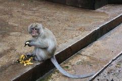 Monkey with banana. Monkey eating banana royalty free stock image
