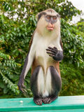 Monkey with banana. On the island of Grenada royalty free stock images