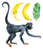 Monkey and banana isolated on white background Royalty Free Stock Photography