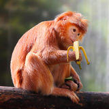 Monkey and banana. The Javan lutung or Javan langur (Trachypithecus auratus) eating ripe banana Stock Photography