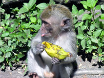 Monkey, banana Royalty Free Stock Photos