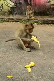Monkey with banana. Look at monkey eating banana stock image