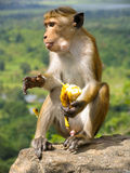 Monkey with banana in Sri Lanka. Sitting on rock royalty free stock photography