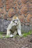 The monkey barbary chews a grass. The monkey barbary in a zoo sits on the earth and chews a grass Stock Image