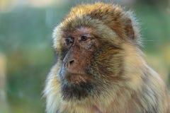 The monkey, The Barbary macaque Macaca sylvanus. The Barbary macaque Macaca sylvanus, the nice monkey Royalty Free Stock Photos
