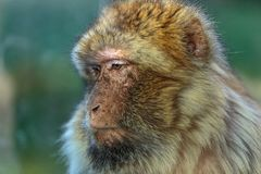 The monkey, The Barbary macaque Macaca sylvanus. The Barbary macaque Macaca sylvanus, the nice monkey Stock Photography
