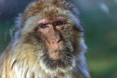 The monkey, The Barbary macaque Macaca sylvanus. The Barbary macaque Macaca sylvanus, the nice monkey Stock Photo