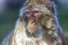 The monkey, The Barbary macaque Macaca sylvanus. The Barbary macaque Macaca sylvanus, the nice monkey Royalty Free Stock Images