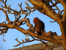 Monkey with bared teeth on a tree. Branch Royalty Free Stock Photo