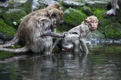 Monkey bath Royalty Free Stock Photos