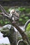 Monkey bath Royalty Free Stock Image
