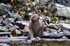 MONKEY IN BATU CAVES Stock Images