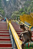 Monkey at Batu Caves hindu temple. Gombak, Selangor. Malaysia. Batu Caves is a limestone hill that has a series of caves and cave temples in Gombak Royalty Free Stock Photography