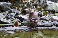 MONKEY IN BATU CAVES MALAYSIA Stock Photo