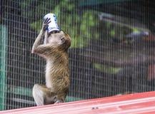 Monkey at batu caves Stock Photos