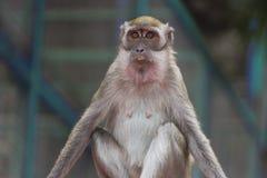 Monkey at the batu caves Royalty Free Stock Photography