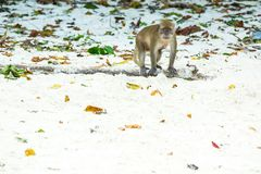 Monkey beach. Crab-eating macaque , Phi-Phi, Thailand Stock Photo