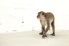 Monkey beach. Crab-eating macaque, Phi-Phi, Thailand Stock Photography