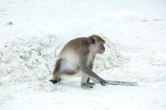 Monkey beach. Crab-eating macaque , Phi-Phi, Thailand Stock Photography