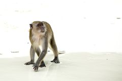 Monkey beach. Crab-eating macaque, Phi-Phi, Thailand Royalty Free Stock Photos
