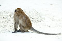 Monkey beach. Crab-eating macaque, Phi-Phi, Thailand Stock Images