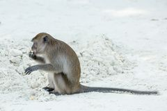 Monkey beach. Crab-eating macaque,Phi-Phi, Thailand Royalty Free Stock Images