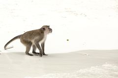 Monkey beach. Crab-eating macaque , Phi-Phi, Thailand Stock Images