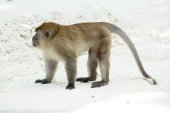 Monkey beach. Crab-eating macaque,Phi-Phi, Thailand Royalty Free Stock Photo