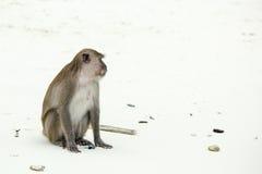 Monkey beach. Crab-eating macaque,  Phi-Phi, Thailand Stock Photos