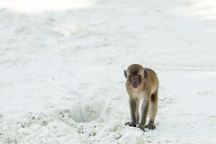 Monkey beach. Crab-eating macaque in  Phi-Phi, Thailand Royalty Free Stock Photos