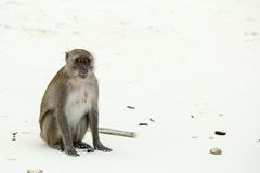 Monkey beach. Crab-eating macaque , Phi-Phi, Thailand Royalty Free Stock Photography