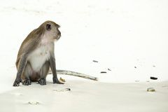 Monkey beach. Crab-eating macaque ,Phi-Phi, Thailand Royalty Free Stock Photography