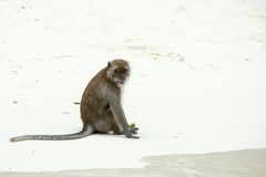 Monkey beach. Crab-eating macaque, Phi-Phi, Thailand Stock Image