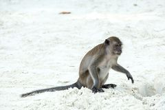 Monkey beach. Crab-eating macaque , Phi-Phi, Thailand Royalty Free Stock Images