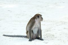 Monkey beach. Crab-eating macaque,  Phi-Phi, Thailand Royalty Free Stock Photo