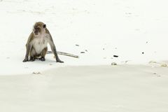 Monkey beach. Crab-eating macaque at  Thailand Stock Photo