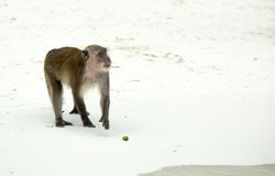 Monkey beach. Crab-eating macaque at Thailand Royalty Free Stock Image