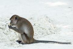 Monkey beach. Crab-eating macaque at Thailand Royalty Free Stock Photos