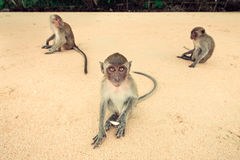 Monkey on the beach. Royalty Free Stock Images
