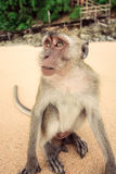 Monkey on the beach. Royalty Free Stock Photography