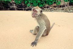 Monkey on the beach. Stock Images