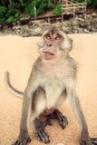 Monkey on the beach. Stock Image